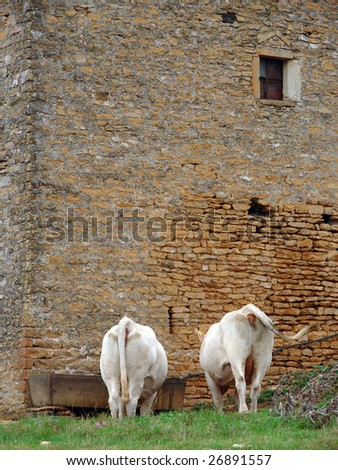 old building with drinking cows