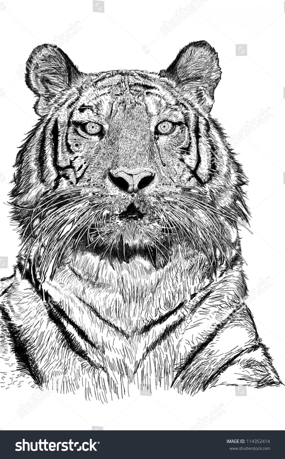 素描老虎与jpeg图片文件-动物/野生生物