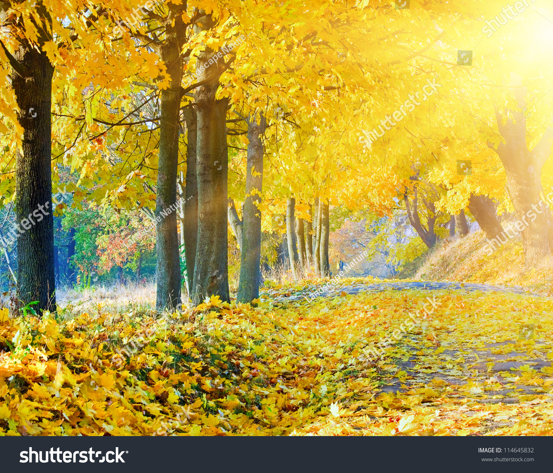 秋天的枫叶树在秋天城市公园和晚上阳光背后的树枝叶图片