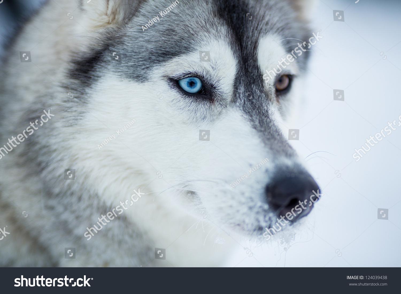 西伯利亚雪橇犬狗特写肖像-动物/野生生物-海洛创意