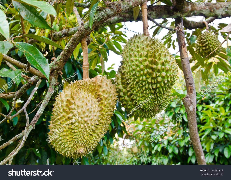 新鲜的榴莲,在泰国树上的水果之王-工业,自然-海洛()
