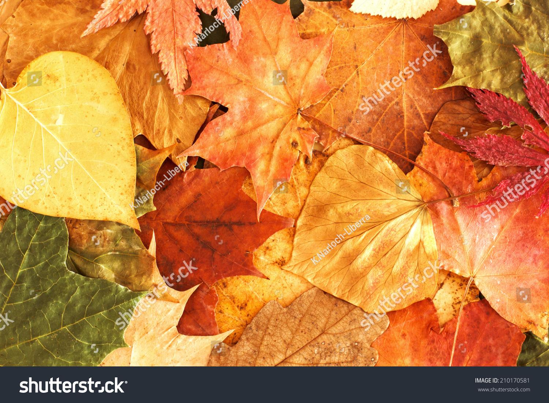 秋叶背景.图片