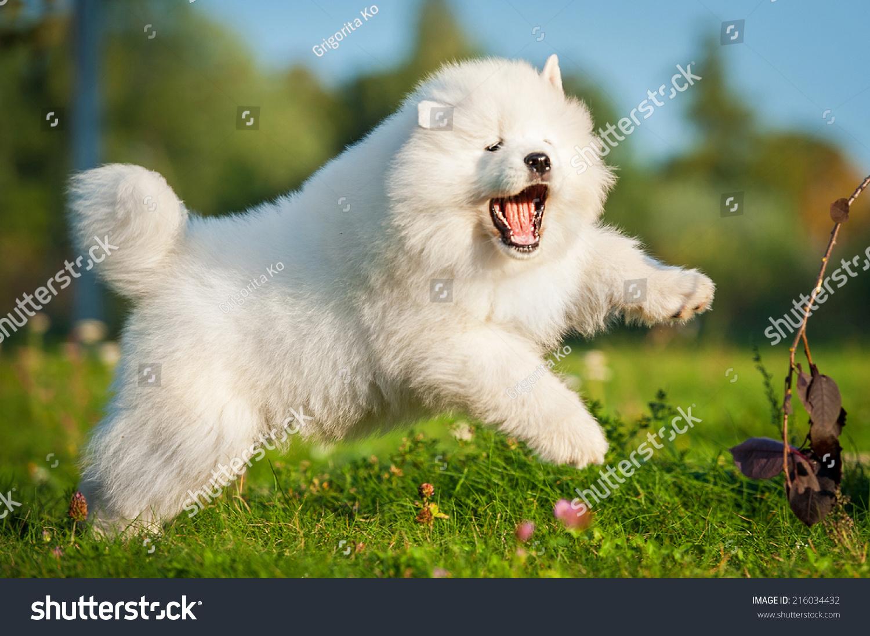 可爱的萨摩耶幼犬跳跃-动物/野生生物,自然-海洛创意