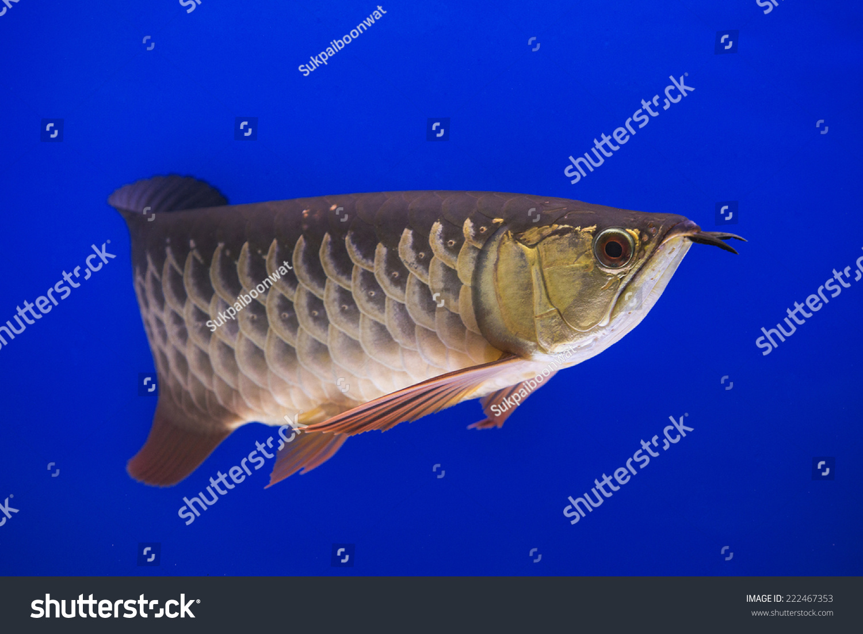 龙鱼-动物/野生生物,自然-海洛创意(hellorf)-中国
