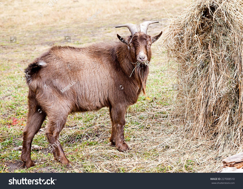 棕色山羊吃干草alta的秋天-动物/野生生物