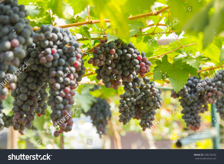 葡萄树上的红葡萄要用来做酒