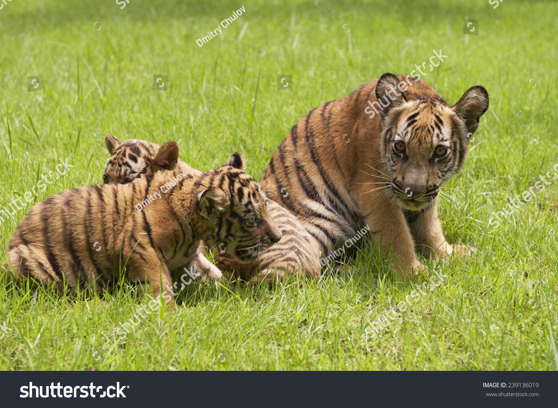 印支虎宝宝在草地上玩。印度支那虎(Panthera tigris corbetti)是一种老虎亚种在东南亚印度支那地区找到。 - 动物/野生生物 - 站酷海洛创意正版图片,视频,音乐素材交易平台 - Shutterstock中国独家合作伙伴 - 站酷旗下品牌