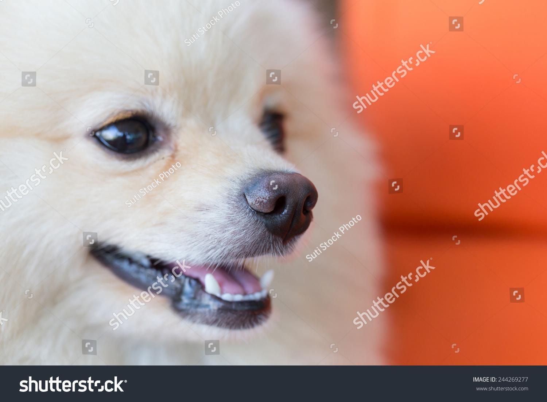 可爱的宠物,特写镜头鼻子白色的波美拉尼亚的狗-动物