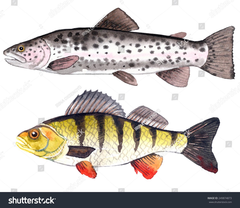 手绘水彩插图:淡水鲈鱼和彩虹鱼.-动物/野生生物,食品