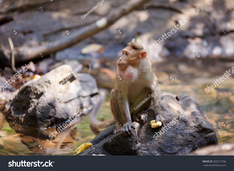 猴子坐在印度森林的树枝上吃香蕉-动物/野生生物
