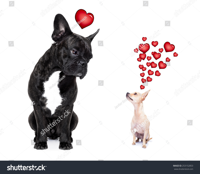 吉娃娃和法国斗牛犬,吸引并希望彼此相爱,孤立在白色背景 - 动物/野生生物,运动/娱乐活动 - 站酷海洛创意正版图片,视频,音乐素材交易平台 - Shutterstock中国独家合作伙伴 - 站酷旗下品牌