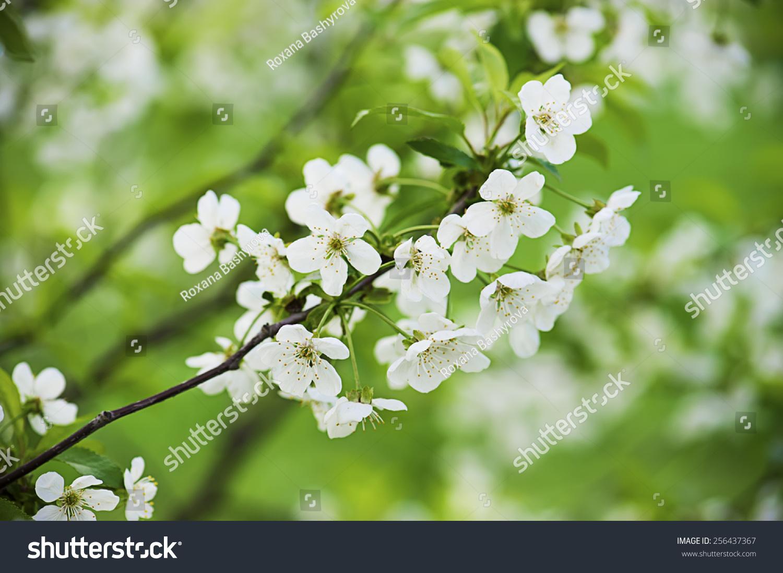 樱桃花儿在春天开花的时间与绿叶