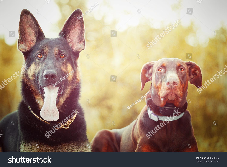 两个有趣的德国牧羊犬的小狗和棕色杜宾犬的狗