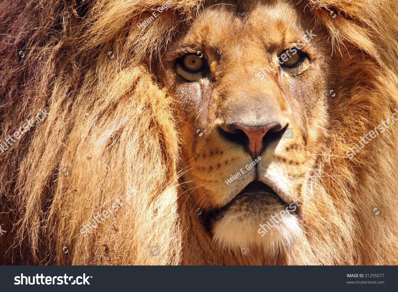 脸的特写和男性的非洲狮子的鬃毛(豹属狮子座)-动物
