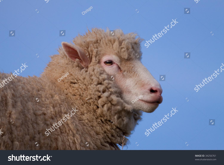 稀有品种来自多角羊