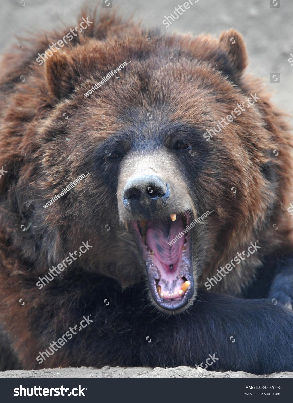 灰熊或棕色熊咆哮的成年女性展示牙齿,加州,美国