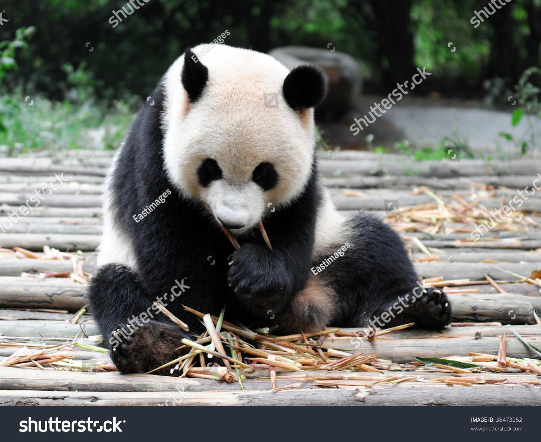 中国大熊猫-动物/野生生物