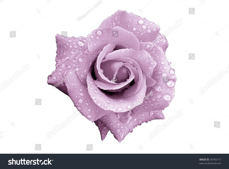 薰衣草与雨滴孤立在白色的玫瑰花-自然,交通运输-海洛
