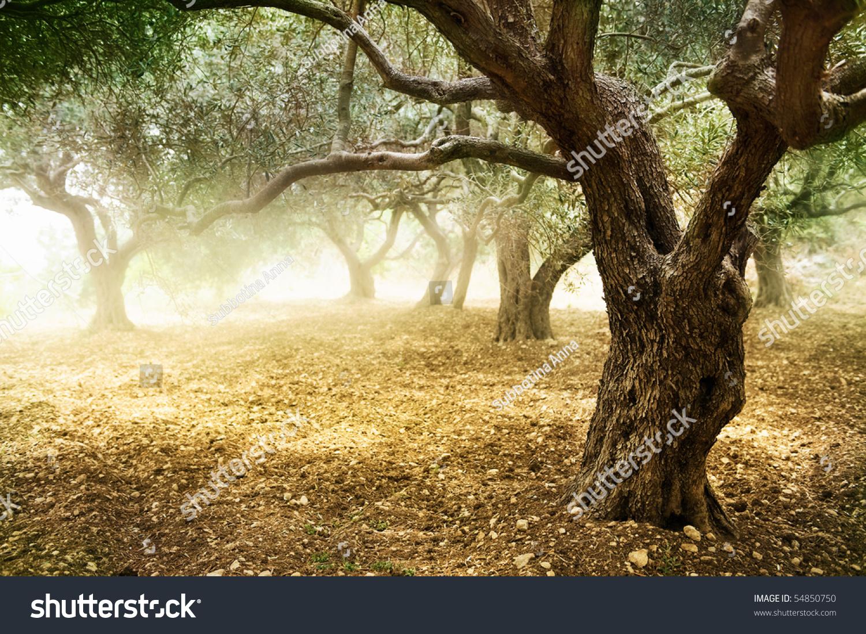 橄榄树-公园/户外,自然-海洛创意(hellorf)-中国独家