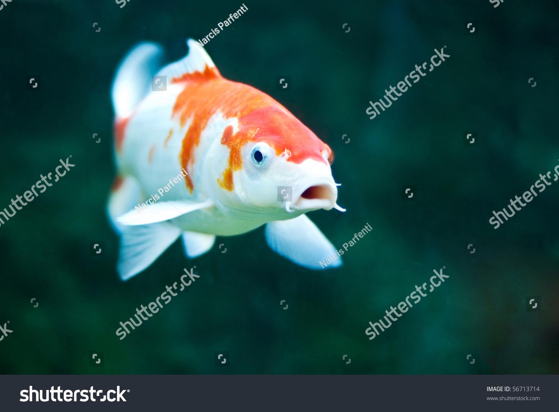 鲤鱼跃出-动物/野生生物