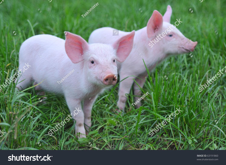 微信头像可爱动物猪