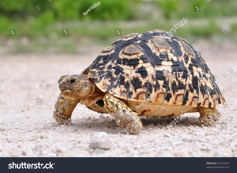 豹龟-动物/野生生物,自然-海洛创意(hellorf)-中国